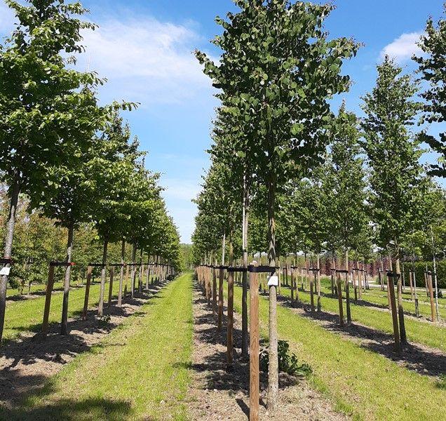 Als de grasbanen worden gemaaid, gooit de maaimachine de mulch bij de boom, wat de kans op onkruidvorming daar vermindert.