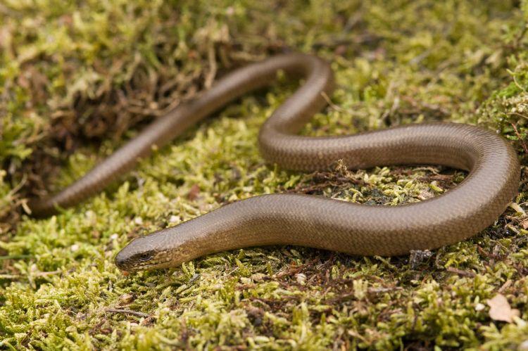 De hazelworm (foto: Paul van Hoof)