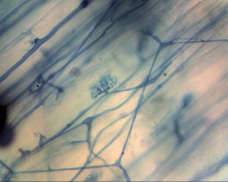 Foto 1. Arbusculaire mycorrhizaschimmels