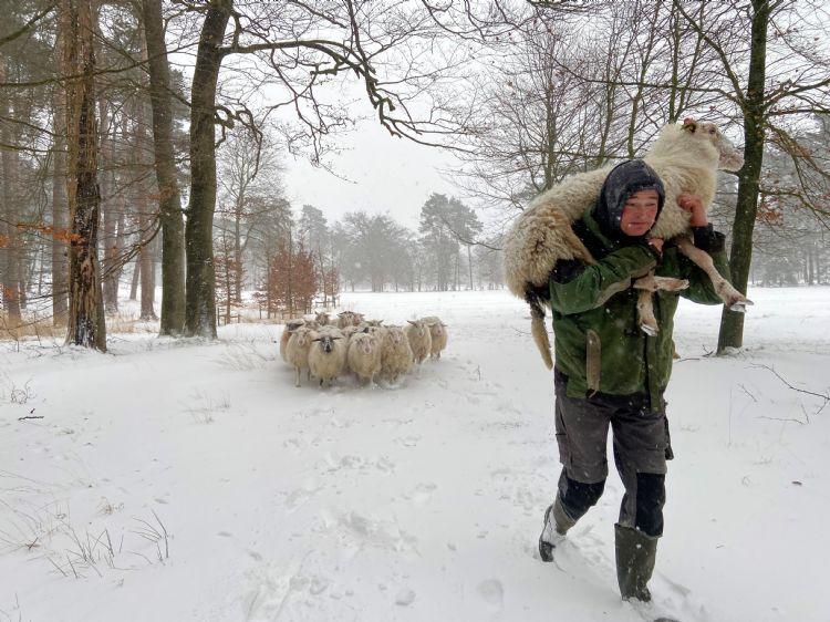 De herder drijft de groep schapen naar de trailer. Foto: JMRegelinkfoto